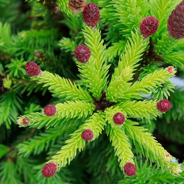 Picea abies Pusch Norway Spruce