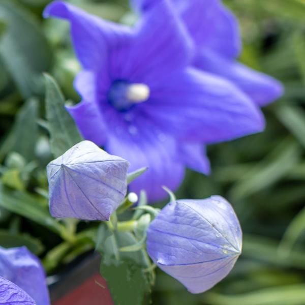 Platycodon-Pop-Star-Blue-Balloon-Flower-buds