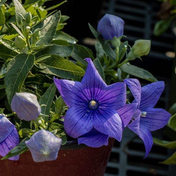 Platycodon-Pop-Star-Blue-Balloon-Flower