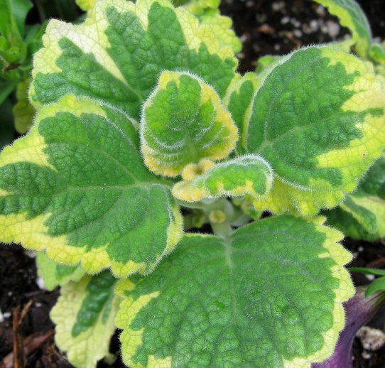 Plectranthus Lemon Twist