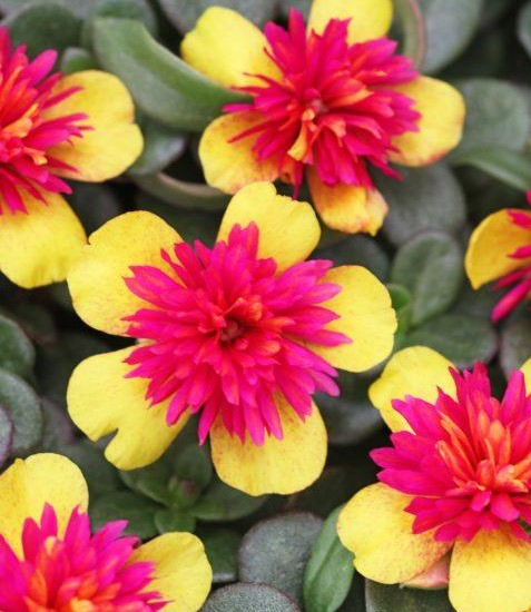 Moss Rose Colorblast Double Guava