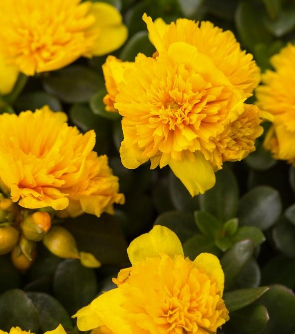 Moss Rose Colorblast Double Yellow