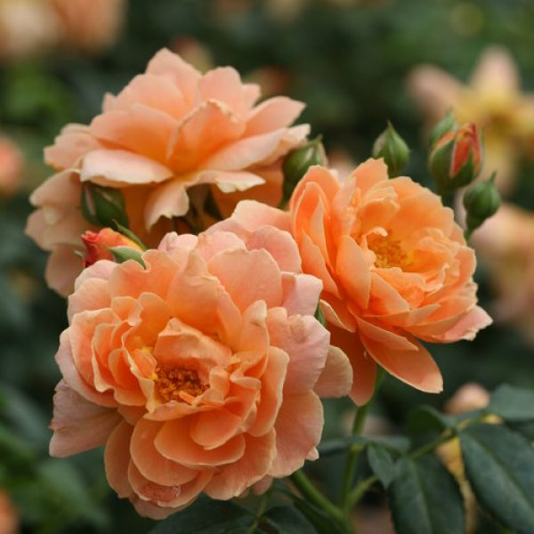 Rose At Last – Shrub Rose