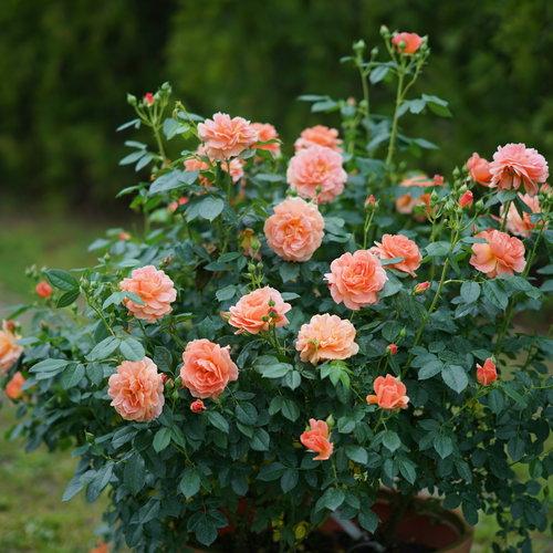 Rose At Last