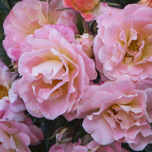 Rose Drift Peach Ground Cover Rose