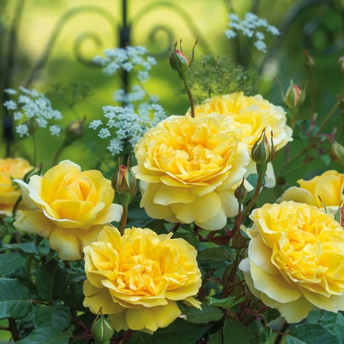 Rose Poets Wife