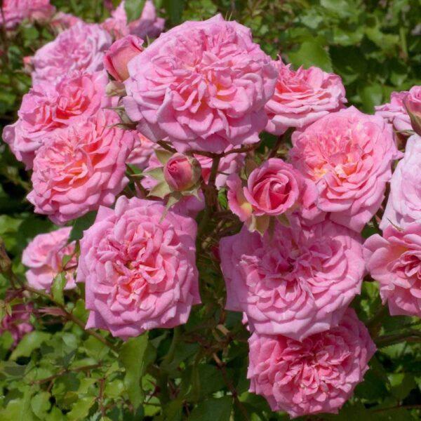 Rose Sweet Drift