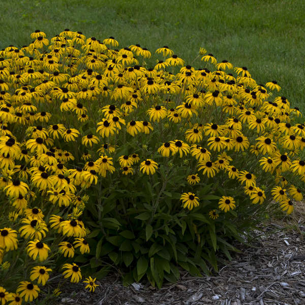 Rudbeckia American Gold Rush, Black-Eyed Susan