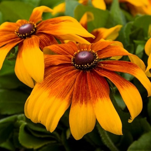 Rudbeckia Rising Sun Chestnut Gold Black-Eyed Susan in 12″ Decorative Pot
