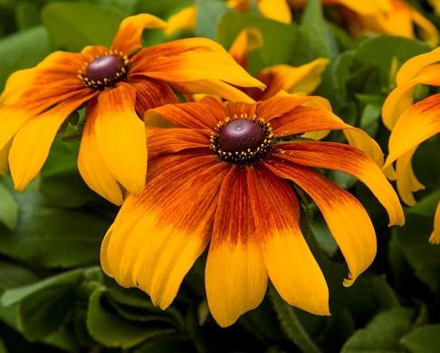 Rudbeckia Rising Sun Chestnut Gold, Black-Eyed Susan