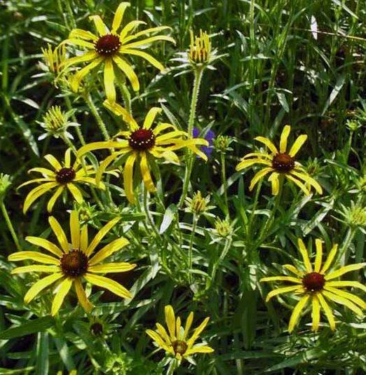 Rudbeckia-missouriensis-Missouri-Black-Eyed-Susan