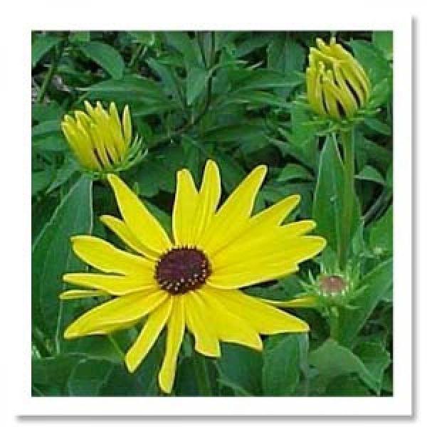 Rudbeckia-subtomentosa-Sweet-Coneflower