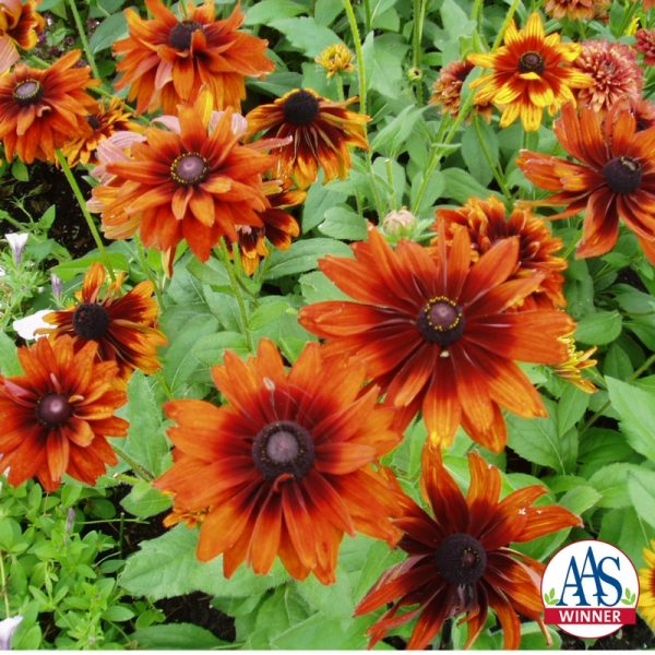 Rudbeckia Cherokee Sunset Black-Eyed Susan in 12″ Decorative Pot