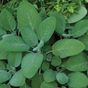 Mint Sage Herb - Organic