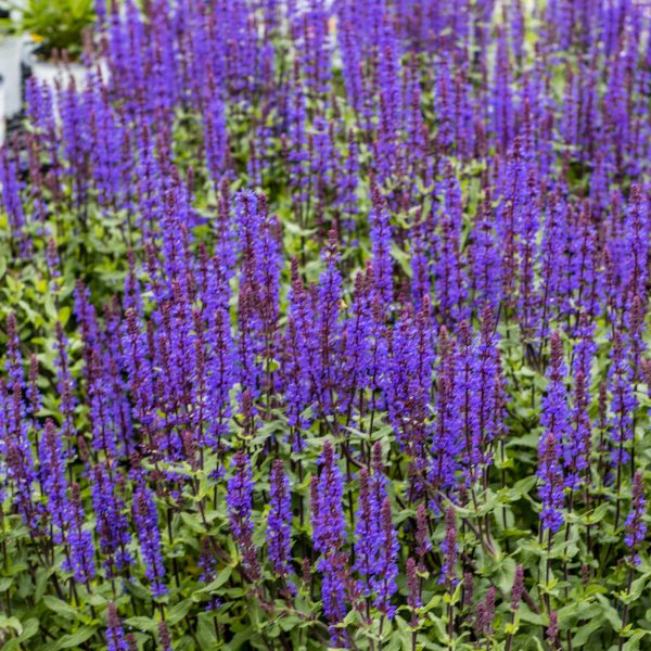 Salvia Caramia Sage