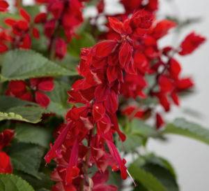 Sage Saucy Red