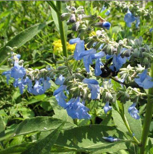 Salvia-azurea-Blue-Sage