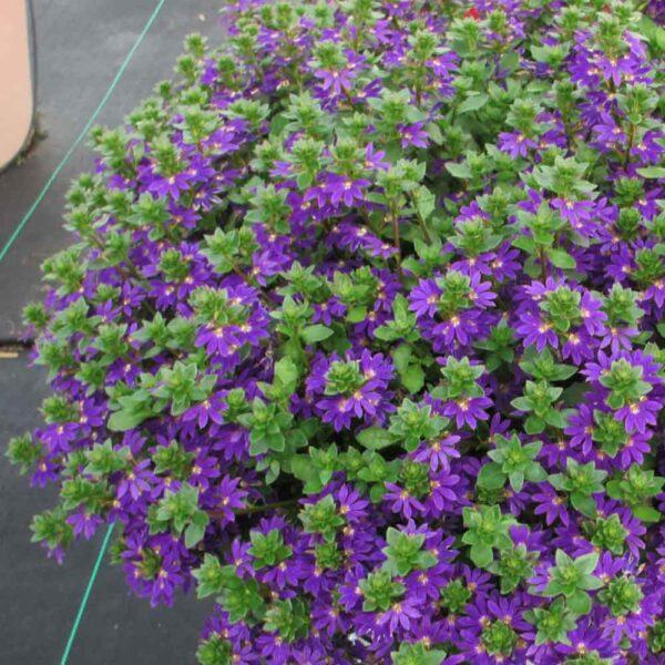 Fan Flower Surdiva Blue Violet