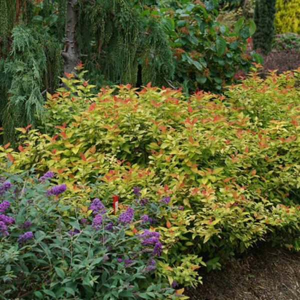 Spirea Candy Corn