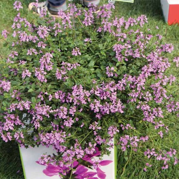 Stachys Lilac Falls Stacys Lamium Hybrid