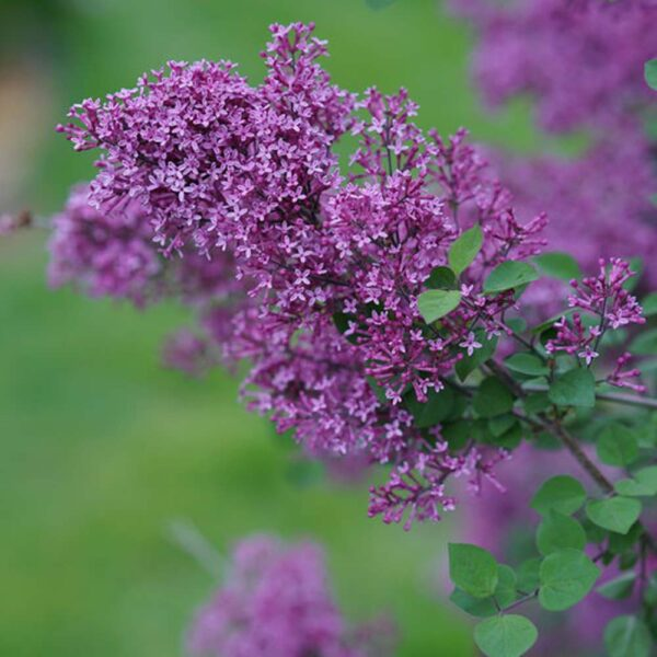 Syringa Bloomerang Dark Purple, Repeat Blooming Lilac