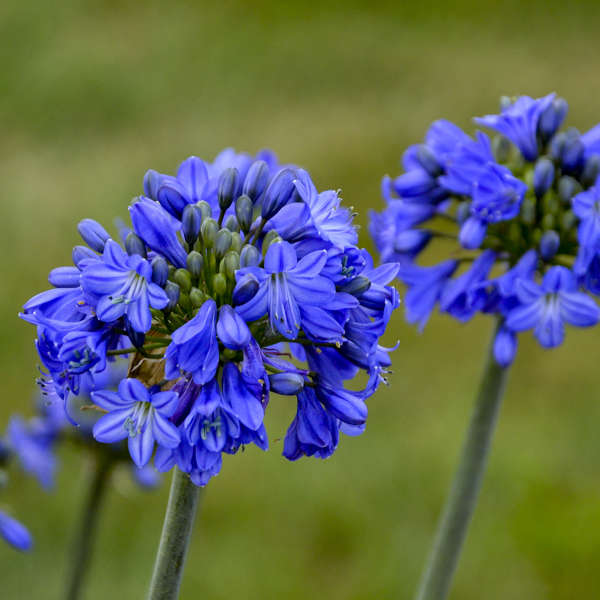 Agapanthus Galaxy Blue, Lily of the Nile