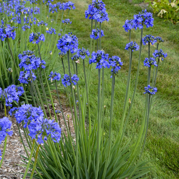 Agapanthus Galaxy Blue Lily of the Nile