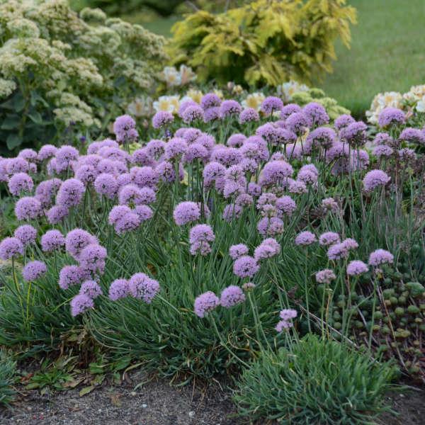 Allium Blue Eddy