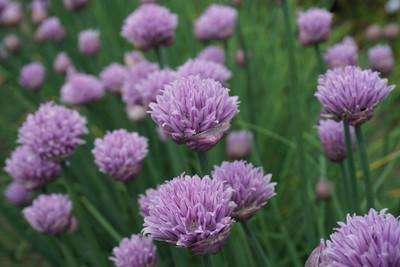 Allium Curly Mauve