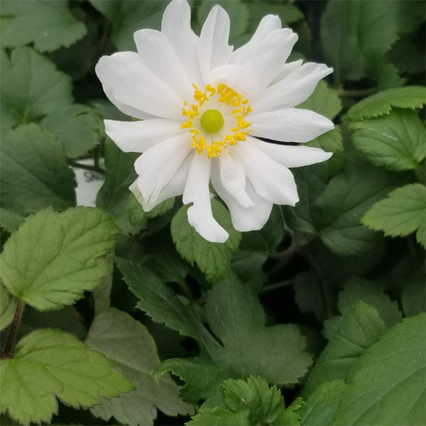 Anemone Snow Angel Windflower
