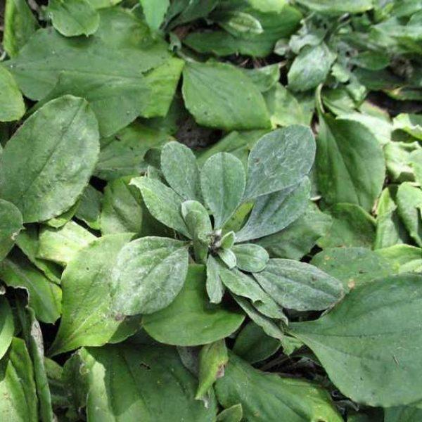 Antennaria plantaginifolia Pussytoes