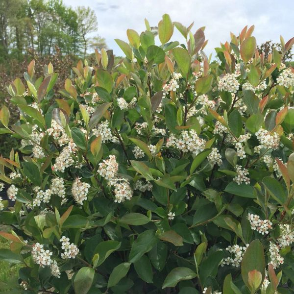 Aronia Low Scape Hedger