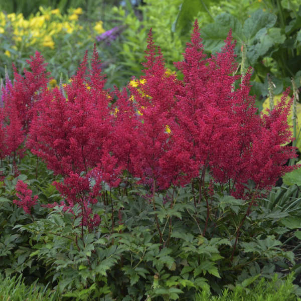 Astilbe Red Sentinel flowers