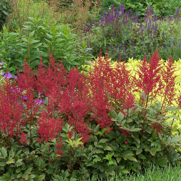 Astilbe Red Sentinal False Spirea