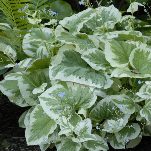 Brunnera variegata Siberian Bugloss
