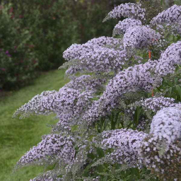 Buddleia Grand Cascade, Butterfly Bush