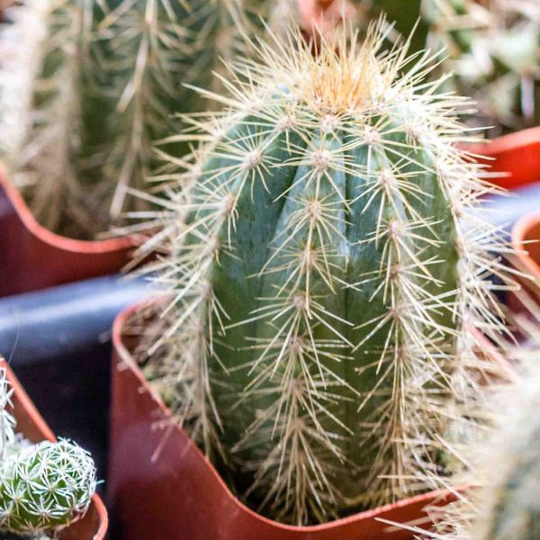 Cacti Assorted 2 inch