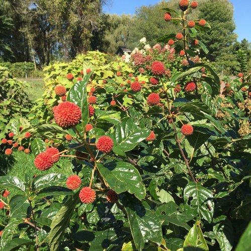 Cephalanthus Sugar Shack Button Bush