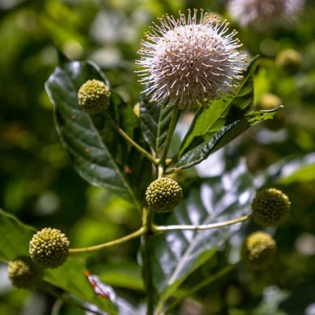 Cephalanthus occentidalis Buttonbush