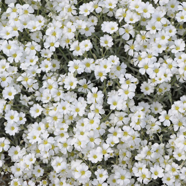Cerastium Yo Yo Snow In Summer flowers