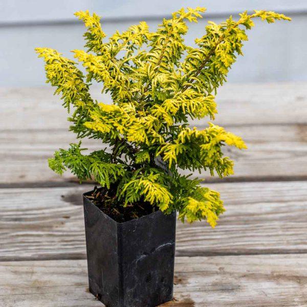 Chamaecyparis Fernspray Gold Hinoki Cypress