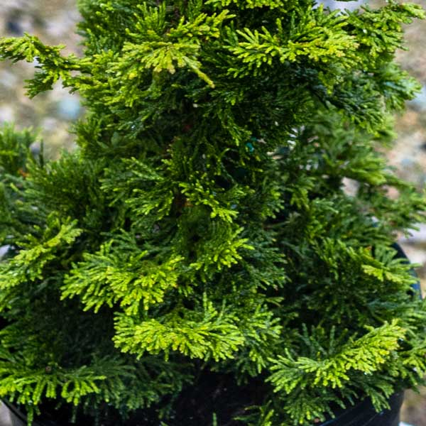 Chamaecyparis Gracilis Hinoki – Hinoki False Cypress