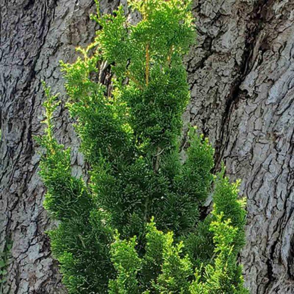 Chamaecyparis Spiralis, Hinoki Cypress