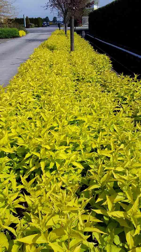 Diervilla Honeybee dwarf bush honeysuckle foliage