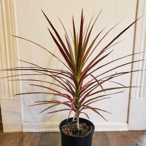 Dracaena Colorama Dragon Tree