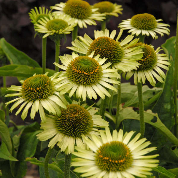 Echinacea Green Jewel, Coneflower