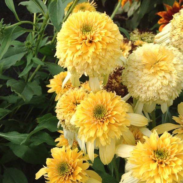 Echinacea Lemon Drop Coneflower