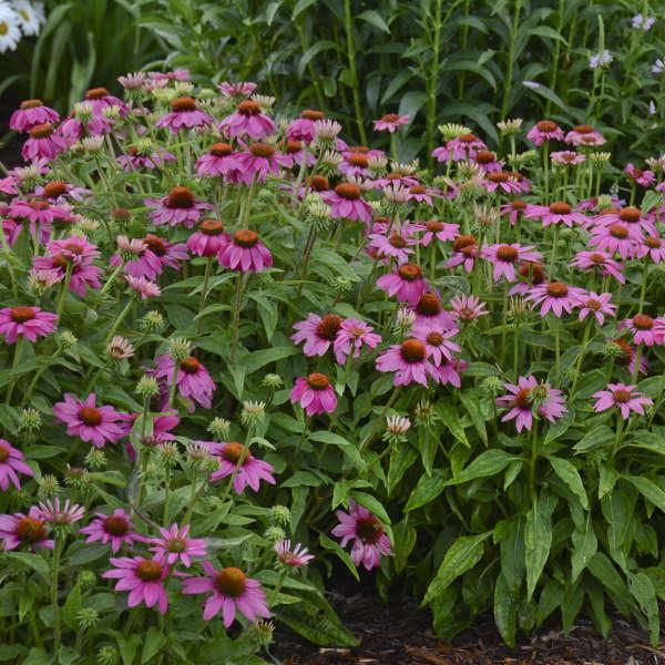 Echinacea Powwow Wild Berry Coneflower garden