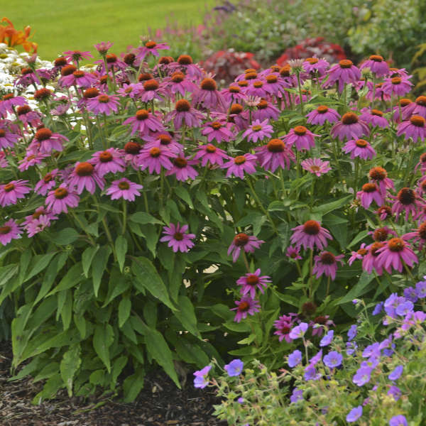Echinacea Pow Wow Wildberry, Coneflower