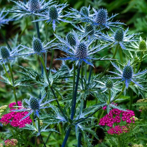 Eryngium-Big-Blue-Sea-Holly